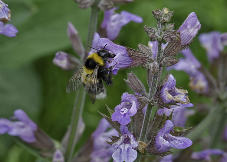 Bee on the Sage Bee Flower Insect Macro Nature Pollenation Sage Wildlife