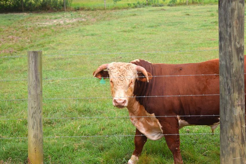 Southern Farm Life... Y'ALL EAT MORE CHICKEN... Alabama Alabama Outdoors Angus Beef Bull What You Looking At? What's For Dinner? Outdoor Photography Outdoor Alabama Bulls