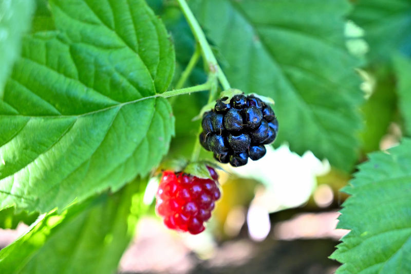 Fruit Healthy Eating Food And Drink Food Berry Fruit Plant Part Leaf Freshness Wellbeing Close-up Green Color Growth Plant Raspberry Ripe Nature No People Focus On Foreground Red Day