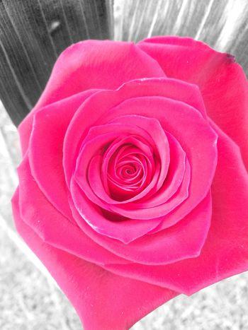 Flower Head Flower Pink Color Petal Rose - Flower Red Close-up