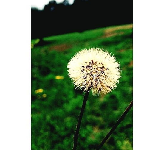 Karahindiba Flowers,Plants & Garden Hi! Flowers