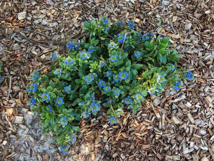 Blue flower shrub blooms on a dry woody ground — Shoalwater Bay, Rockingham, Western Australia. Blue Flower Wildflowers Shrub Brown Color Blue Flower Green Color Vegetation Plant Growth Woody Dry Ground Day Outdoors No People High Angle View Beauty In Nature Nature Shoalwater Bay Rockingham Western Australia October 2016