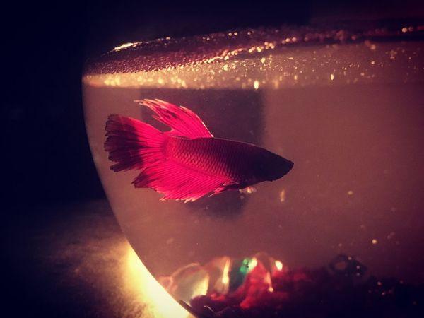 Fish Night Illuminated Underwater Aquarium Life Fighter Fish Red Fish Bowl
