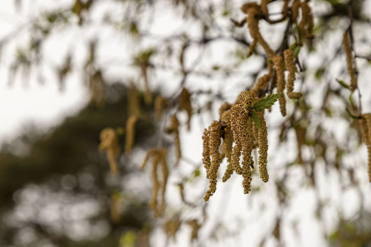 Close-up of haning seeds Springtime Spring Seeds Hanging Selective Focus Beauty In Nature Day No People Tranquility Focus On Foreground Growth Wood - Material Leaf Brown Macro Twig Plant Outdoors Season  Close-up Forest Branch Nature Tree Birch Birch Tree