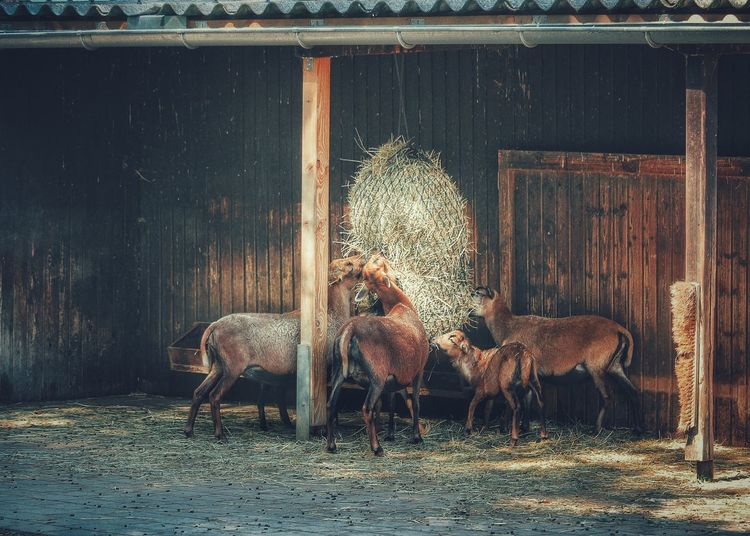Calves grazing hay in shed