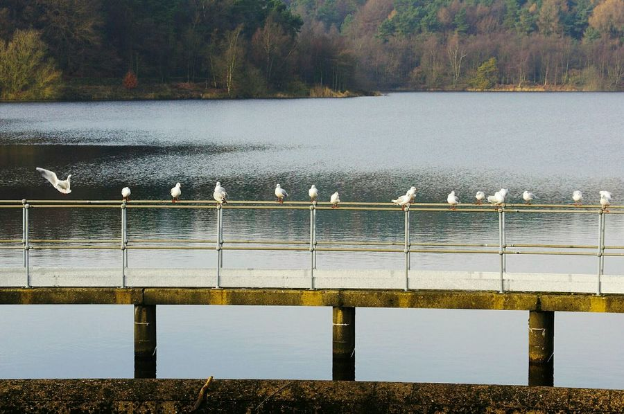 Water Railing River Outdoors Nature Bridge - Man Made Structure Tree Day No People Beauty In Nature Nature Reserve Lake Halifax Yorkshire Ogden Landscape Resevoir Gulls Black Headed Gull Flock Of Gulls Nature Beauty In Nature Birds Gull Pentax
