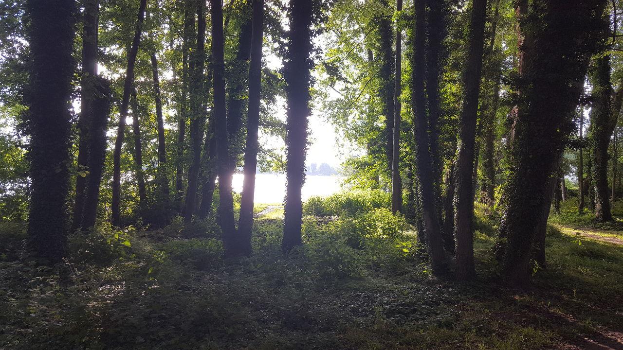 SUNLIGHT STREAMING THROUGH TREE TRUNKS IN FOREST