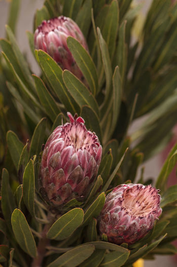 Pink princess protea grandiceps flower bouquet at a farmers market in summer Beauty In Nature Close-up Day Flower Flowers Focus On Foreground Freshness Green Color Growth Leaves🌿 Nature Nature No People Outdoors Pink Color Pink Flower Plant Princess Protea Protea Grandiceps