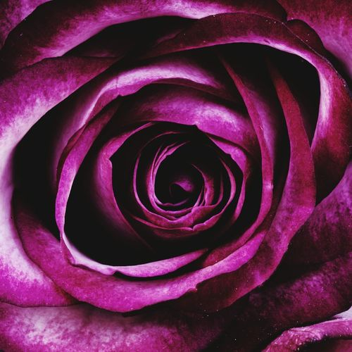 Rose in depth EyeEmNewHere EyeEm Selects Rose Petals Rose Collection Flower Head Flower Photography Rose Macro Purple Flower Purple Rose Sm Photos Flower Head Flower Backgrounds Full Frame Petal Rose - Flower Purple Abstract Pink Color Close-up
