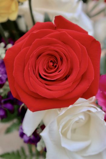 Red rose Canon