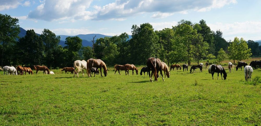 Landscape Tree Animal Sky Green Color Nature Large Group Of Animals Grass Cloud - Sky Agriculture No People Outdoors Mammal Day USA USA Photos Smoky Mountains Cades Cove Horses