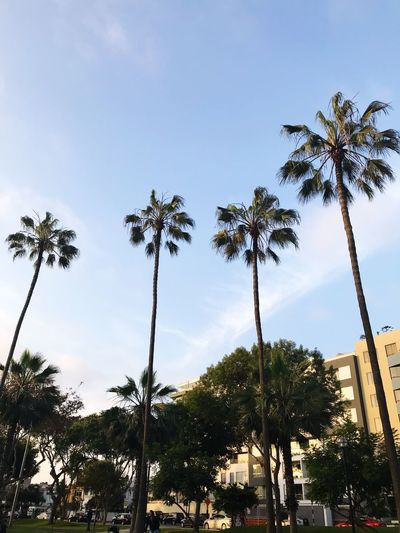 Palm Tree Tree Tree Trunk Low Angle View Day Outdoors Sky Scenics Growth Nature No People Beauty In Nature Clear Sky EyeEmNewHere