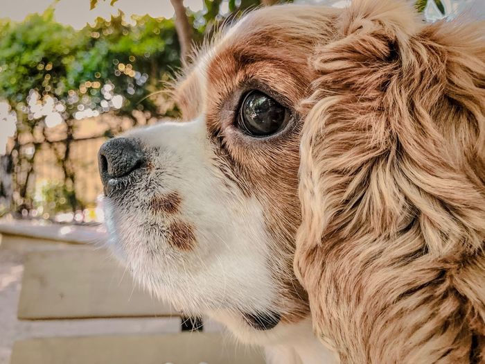 Morning community 😌 IPhoneography Lightroom Cavalier King Charles Spaniel One Animal Mammal Pets Vertebrate Domestic Animals Portrait Domestic Close-up Day Animal Body Part No People Dog Animal Wildlife Looking Away Side View Profile View Whisker Animal Eye
