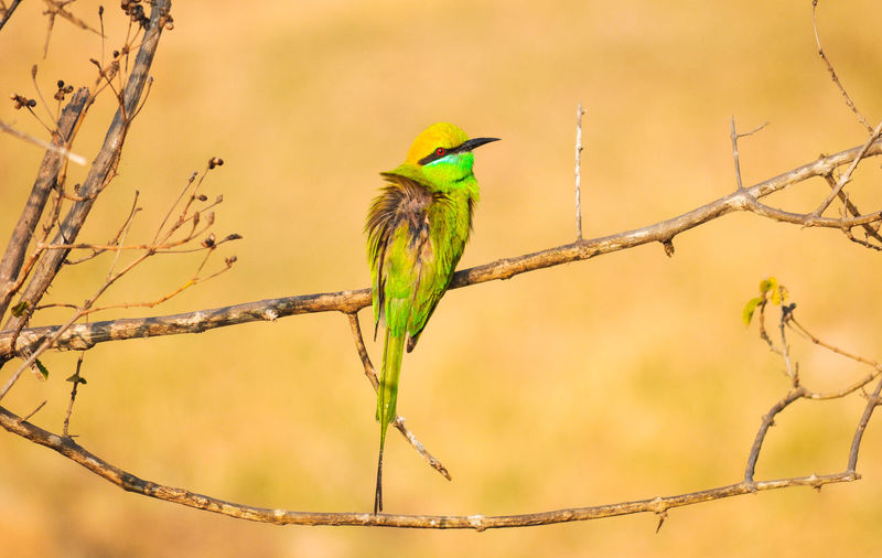 Green Bee Eater Green Bee Eater Animal Themes Animal Wildlife Animals In The Wild Bare Tree Beauty In Nature Bird Branch Close-up Day Nature No People One Animal Outdoors Perching Tree