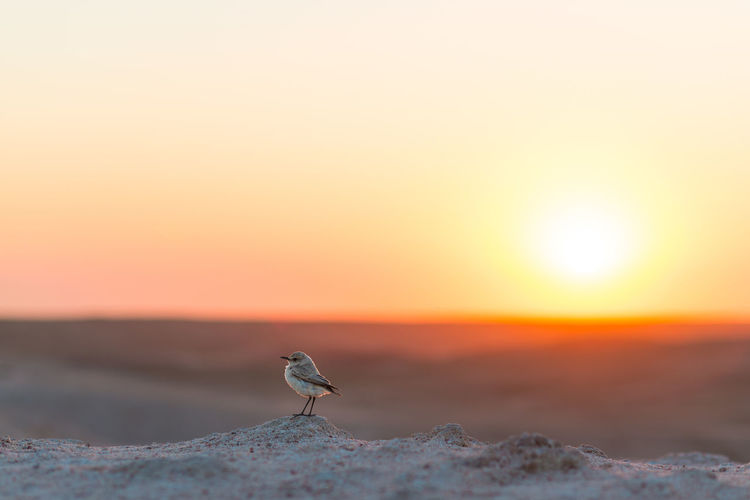 Bird at desert against orange sky
