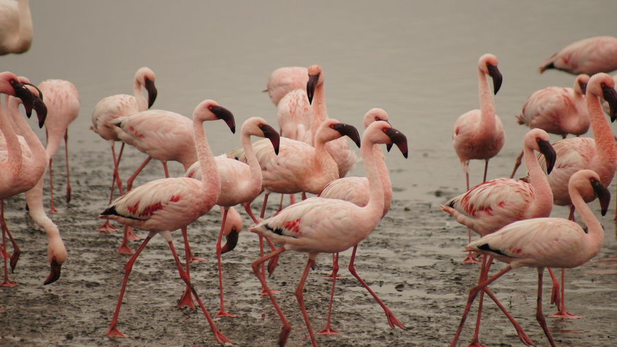 Bird Photography Birds Flamingos In Water Lagoons Pink Flamingos Water Reflections Wild Birds Wildlife & Nature