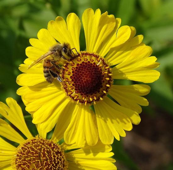 Biene auf der