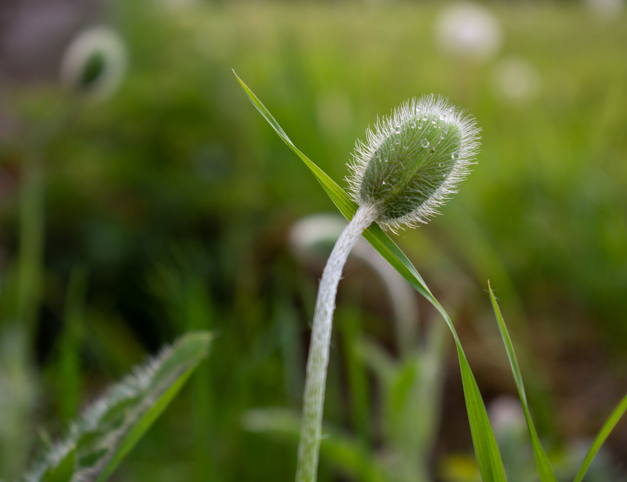 CLOSE-UP OF DANDELION IN GRASS