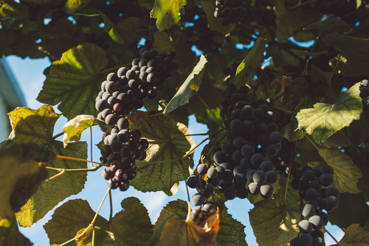 Vine Vineyard Plant Harvest Harvesting Harvest Time Autumn Fruit Healthy Eating Food And Drink Food Growth Leaf Plant Part Freshness Wellbeing No People Agriculture Close-up Day Tree Nature Grape Bunch Ripe Outdoors Winemaking