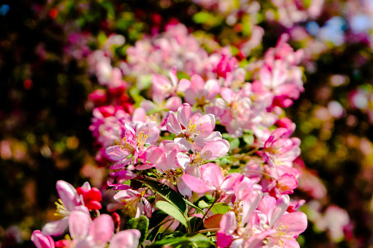pink flowers of