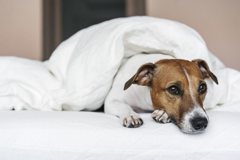 Sad cute jack russell terrier dog on the bed.