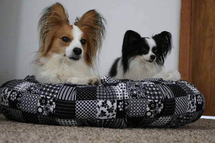 I Love My Dog Bestfriend I Love My Dogs My Dogs Are My Children My Dogs Are Cooler Than Your Kids Papillons Papillon