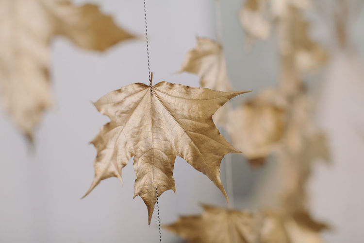 Close-up of autumn leaves against wall