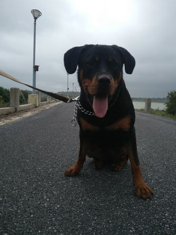 Rott after her her first ever swim. Celebrating an achievement with a sense of pride. #Morning #walking #centrepiece #achievement #Swimming #dogwalks #Dogs Of EyeEm #Doglife #leashed River #Dam #Pose #poser #photography #JustMe # Protruding Pets Water Portrait Dog Looking At Camera Sticking Out Tongue Cheerful Animal Themes