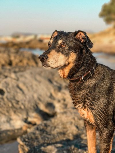 Beach Sea Looking Away Sitting Walking Rocky Beach Rock Formation Dog Portarait Wet Hair Wet Animals One Animal Animal Themes Animal Land Focus On Foreground Nature Domestic Animals Mammal Vertebrate Pets Beach Canine Dog Close-up Domestic Side View Water Sky Day Animal Head