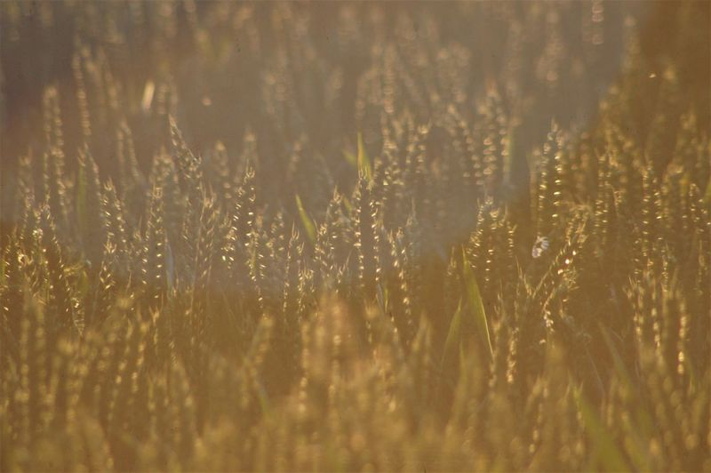 Ears of wheat. Plant Field Growth Land Gold Colored Wheat Wheat Field Large Group Of Objects Cereal Plant Agriculture Environment Nature Beauty In Nature No People Farm Farmland Crop  Crop Field Tranquil Scene Tranquility Backgrounds Full Frame Sunlight Shadow Silhouette Leaves Rural Scene Day Outdoors Selective Focus High Angle View Rear View Summer Hot Day The Creative - 2019 EyeEm Awards