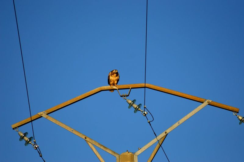 Low angle view of hawk perching on electricity pylon against clear sky