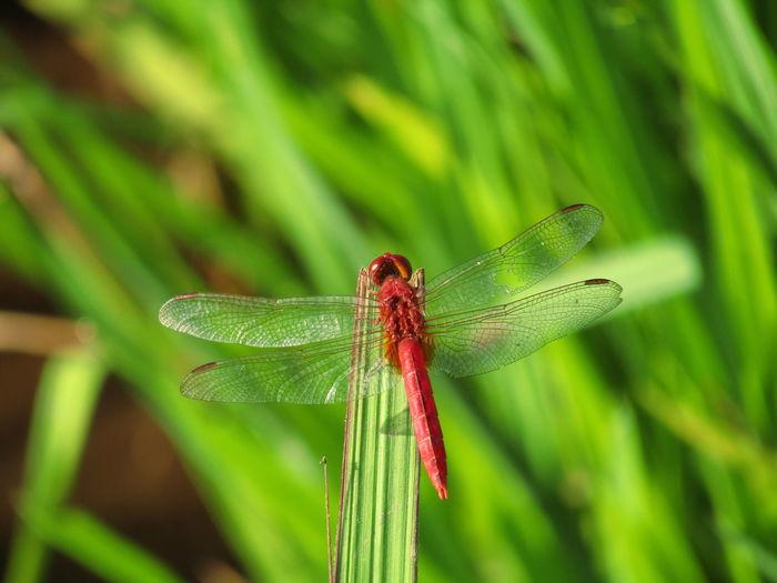 Leaf Damselfly
