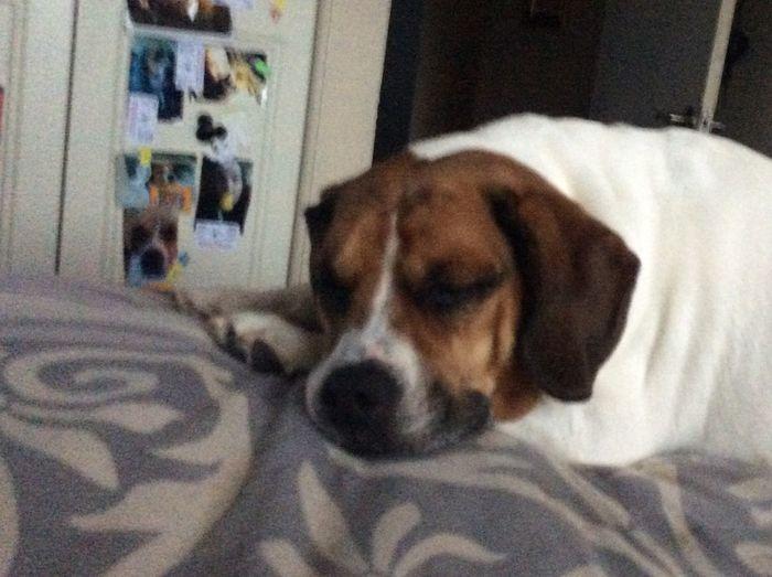 Sammy♡ Sammythebeabull Dogslife Dog❤ Sleepybeabull Petstagram Petsofeyeem