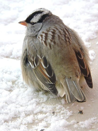 Male White-crowned Sparrow Animal Themes Animal Wildlife Animals In The Wild Bird Close-up Cold Temperature Day Mammal Nature No People One Animal Outdoors Snow White-crowned Sparrow Winter