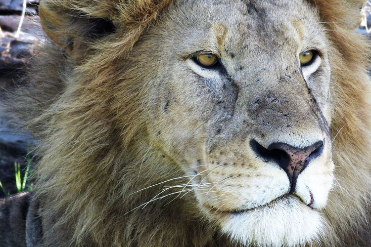 Close-up of lion looking away