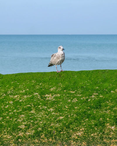 Alone Time Seaweed Animal Animal Themes Animal Wildlife Animals In The Wild Baby Seagull Beauty In Nature Bird Grass Green Color Horizon Horizon Over Water Land Nature No People One Animal Outdoors Perching Plant Sea Seagull Seagulls And Sea Vertebrate Water