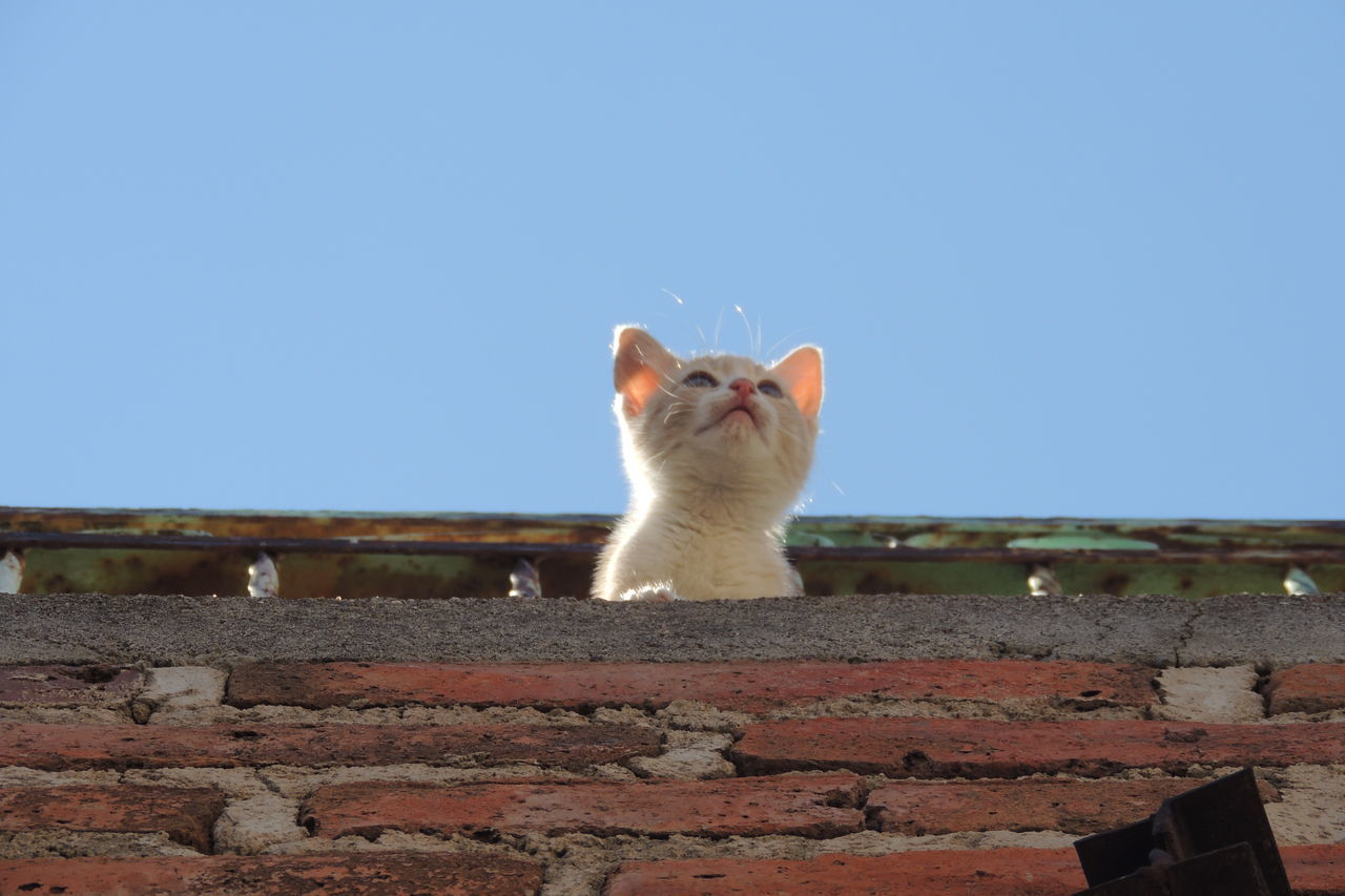mammal, animal, animal themes, domestic, sky, domestic animals, pets, clear sky, one animal, wall, vertebrate, domestic cat, copy space, feline, cat, low angle view, blue, no people, nature, architecture, brick, whisker