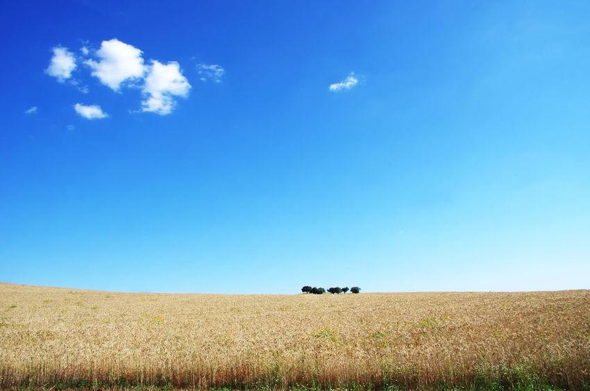 wheat field with blue sky. Alentejo, Portugal Wheat Field Agriculture Blue Cloud - Sky Field Horizon Horizon Over Land Land Landscape Nature Rural Scene Scenics - Nature Sky