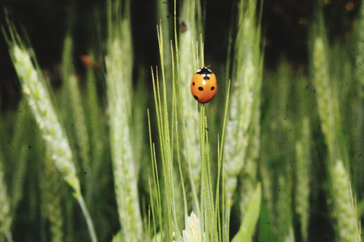 searching for food EyeEm Selects Ladybug Insect Leaf Close-up Plant Grass Tiny Bug Animal Antenna