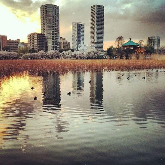 夕陽下,成群的水鴨伴著以泛黃的蓮花。