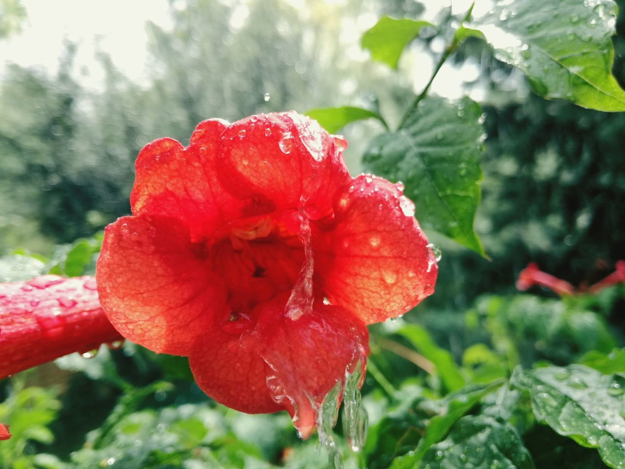 red, drop, flower, water, fragility, nature, freshness, beauty in nature, wet, growth, petal, day, plant, outdoors, close-up, focus on foreground, flower head, blooming, raindrop, rose - flower, no people, poppy, hibiscus, leaf