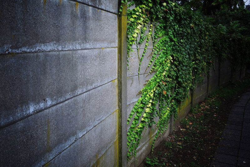 Creeper plants on wall