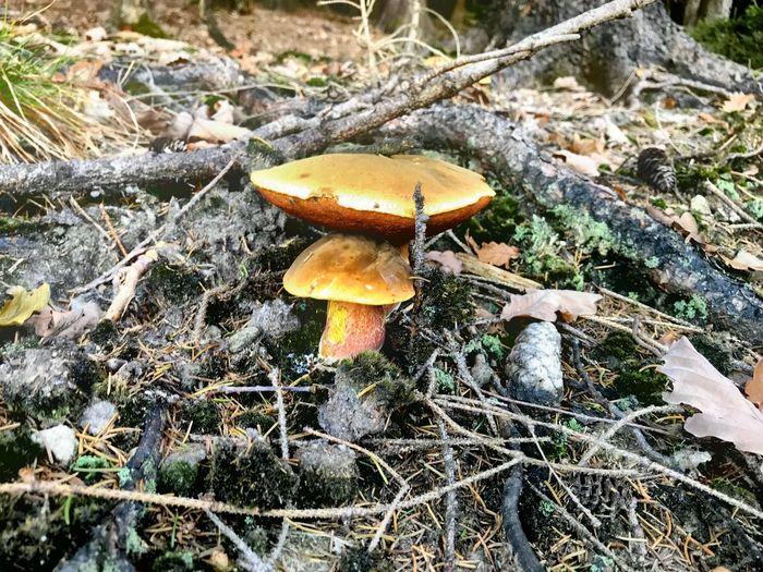 Mushroom Fungus Growth Food Vegetable Land Nature