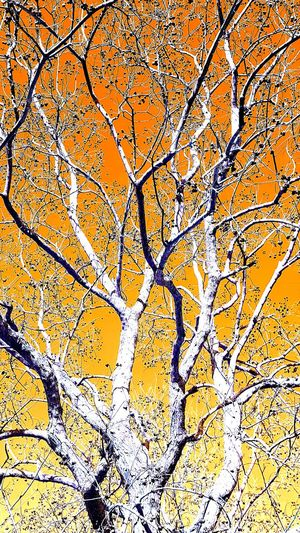 Abstract Autumn Branch Branches In Orange Burning Bush Low Angle View Nature_collection No People Orange Sky Orange Tree Outdoors Tree Tree Of Fire