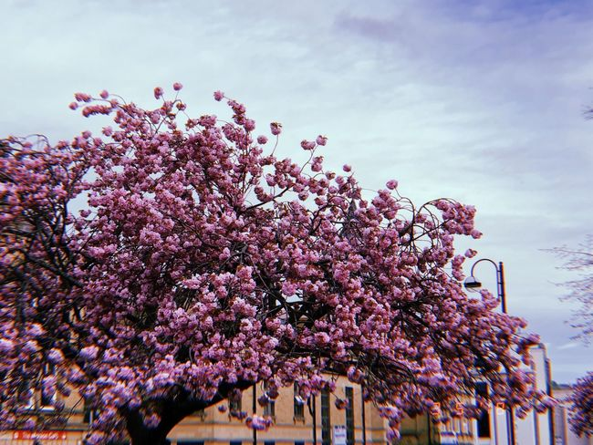 s a k u r a Plant Tree Flower Flowering Plant Sky Growth Nature Cloud - Sky Pink Color Fragility Freshness Blossom Beauty In Nature No People Vulnerability  Low Angle View Day Springtime