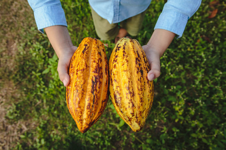 Low section of man holding cacao fruit