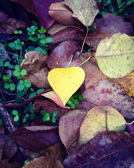 Gift from nature Leaves Purple Heart Yellow Miracle Beauty In Nature Heart Shape Love Goodluckcharm Lucky