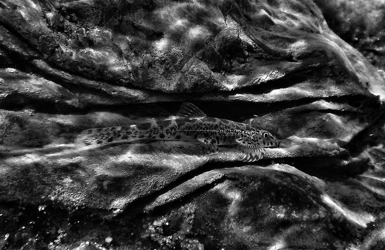 Camouflage underwater Close-up Backgrounds EyeEm Gallery Incredible India Nikon AW130 EyeEm Nature Lover Animals In The Wild EyeEm Best Shots Macro Monochrome Black And White Camouflage Fish Underwater Loach  Bhavania Australis Western Ghats Fishplore FishEyeEm Perspectives On Nature