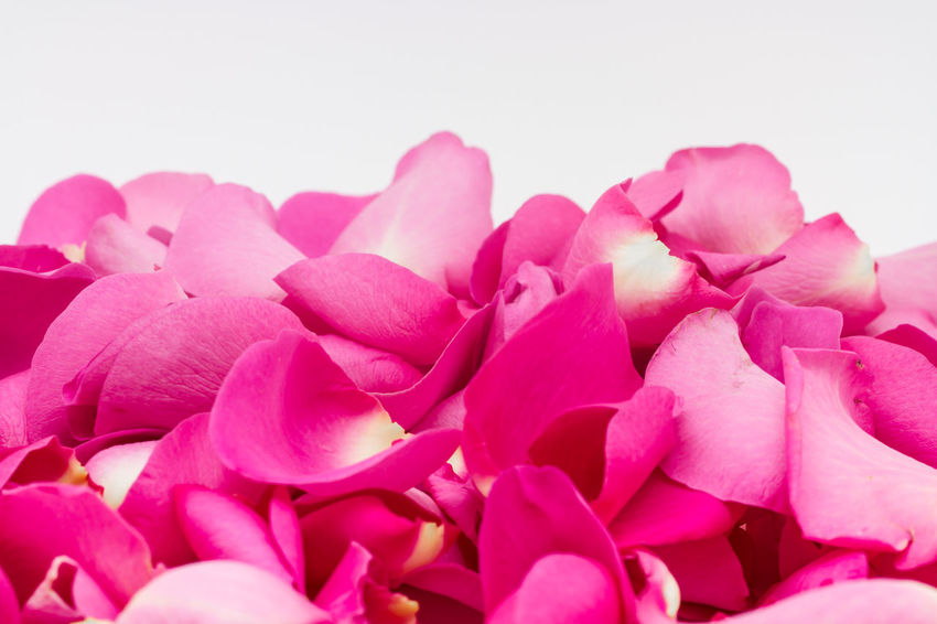 Pink Rose Petals Beauty In Nature Calm Close-up Copy Space Flower Fragility Freshness Growth Nature No People Petal Pink Pink Color Pink Rose Petals Pink Roses Pretty Suitable For Adding Text Tranquility White Background