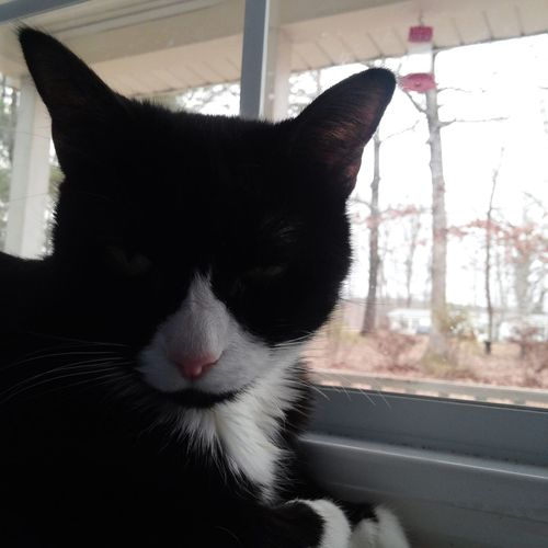 Tuxedocat Preciousthecat Birdwatching HappyValentinesDay❤ relaxing Sunday Cat♡